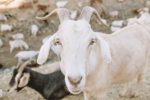 Action Foods - Goats