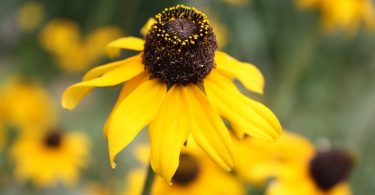 Black-eyed Susan (Ratibida columnifera). Photo by C. Neufeld.