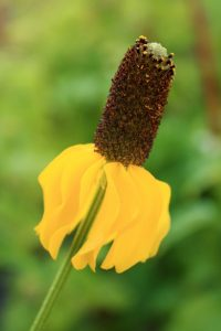 Prairie coneflower (Ratibida columnifera). Photo by C. Neufeld.